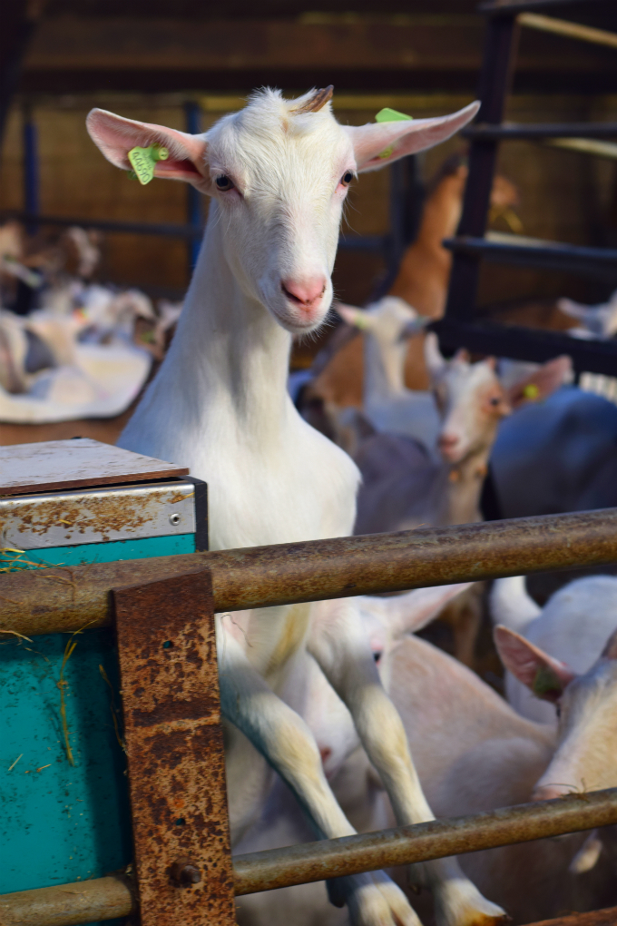 Geitenboerderij nieuwsgierig geitje - Anniepannie